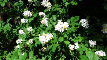 Wild white roses growing long the roadside in West Virginia - Route 3