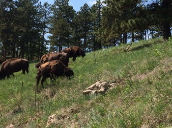 Part of the herd of buffalo I came across just outside of Custer