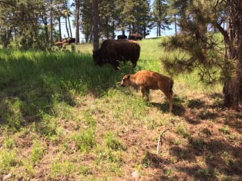 I came across a herd of buffalo as well - This is mom with her young one