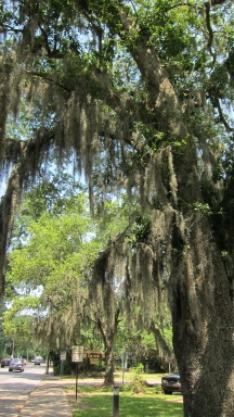 Spanish moss adorning a majestic oak tree