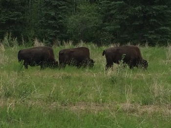 Wild herds of buffalo roam freely around Muncho Lake and the Liard Hot Springs