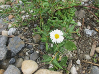 It always amazes me how these beautiful little flowers are able to grow in such a rocky environment.