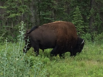 Now this is one big buffalo!