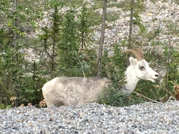 Mountain sheep along side of the road