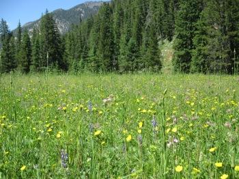 A meadow in Yellowstone filled with wildflowers