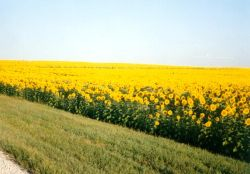 Kansas is the sunflower state - in addition to the beautiful yellow Susan's grow wild long the roadsides